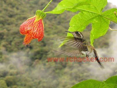 wedge billed hummingbird